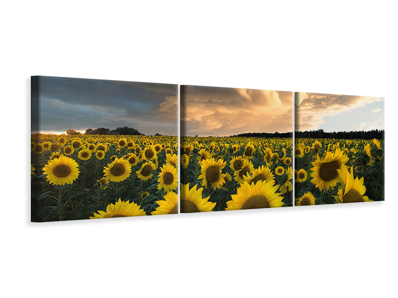 Panorama Leinwandbild 3-teilig Sunflowers In Sweden