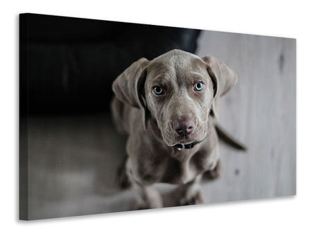 Canvas print The Weimaraner