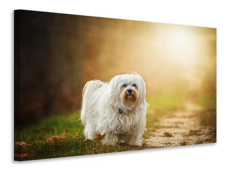 Canvas print The Havanese